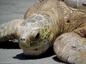Green turtle season is about to start!-0