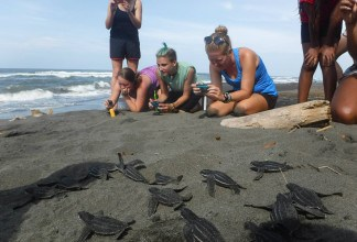 volunteer with sea turtles
