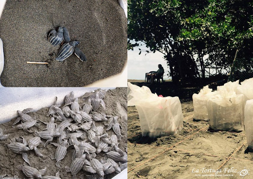 More then 100 leatherback turtle nests have been saved!-0