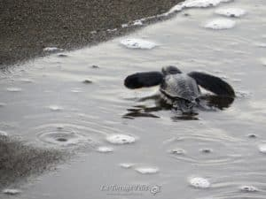 Baby turtles keep coming!-2